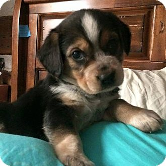 Beagle Mix Puppy for adoption in WESTMINSTER, Maryland - Doc