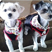 Adopt A Pet :: The Morkie Sisters - Palm City, FL
