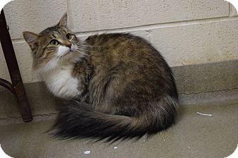 Domestic Mediumhair Cat for adoption in Bucyrus, Ohio - Fluffy Flo