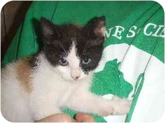 Domestic Shorthair Kitten for adoption in Mason City, Iowa - Lil Baby