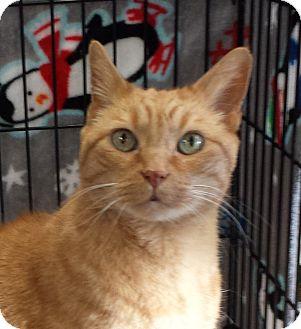 Domestic Shorthair Cat for adoption in Kirkland, Washington - Cruiser - Super Friendly Older