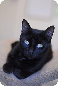 Domestic Shorthair Cat for adoption in Everett, Ontario - Nala