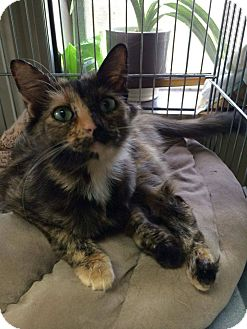 Domestic Mediumhair Cat for adoption in Mansfield, Texas - Rose