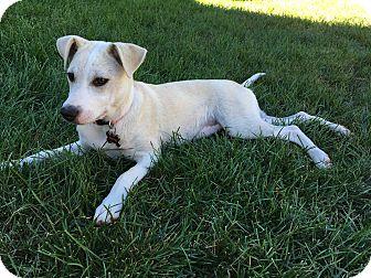 Labrador Retriever/Hound (Unknown Type) Mix Puppy for adoption in Sagaponack, New York - Prudence