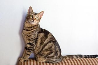 American Shorthair Cat for adoption in Santa Monica, California - Desu
