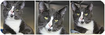 Domestic Shorthair Cat for adoption in Forked River, New Jersey - Jack