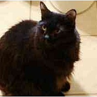 Domestic Longhair Cat for adoption in Pasadena, California - Scout