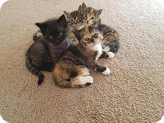 Domestic Shorthair Kitten for adoption in Daleville, Alabama - Litter 1
