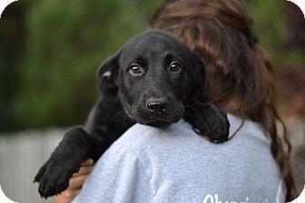 Labrador Retriever/Beagle Mix Puppy for adoption in Acworth, Georgia - Athena