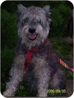 Schnauzer (Miniature) Dog for adoption in Long Beach, New York - Hillary