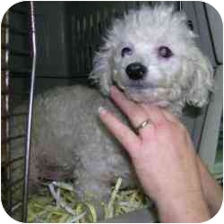 Poodle (Toy or Tea Cup) Mix Dog for adoption in Elwood, Illinois - Tippy