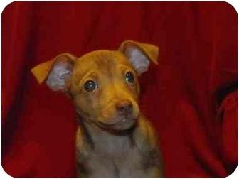 Rat Terrier/Miniature Pinscher Mix Puppy for adoption in Cincinnati, Ohio - Annie