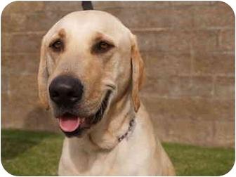 Labrador Retriever Dog for adoption in El Cajon, California - Turner