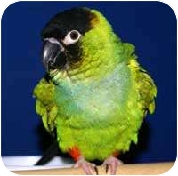 Conure for adoption in Hammonton, New Jersey - Ricky