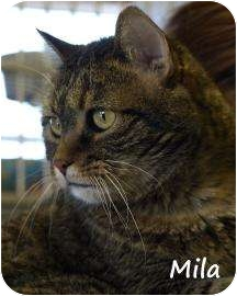 Domestic Shorthair Cat for adoption in Divide, Colorado - Mila