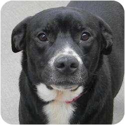 Labrador Retriever/Border Collie Mix Dog for adoption in Chicago, Illinois - Angie(loves kids!)