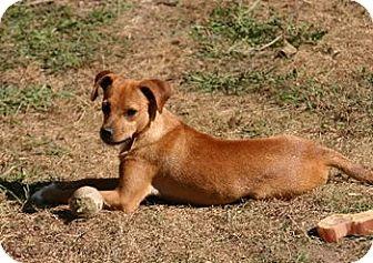 Labrador Retriever Mix Puppy for adoption in Avon, New York - Meri