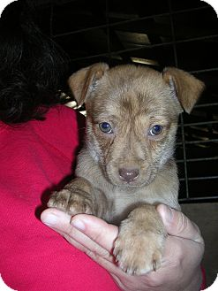 Shepherd (Unknown Type) Mix Puppy for adoption in Bedminster, New Jersey - Lottie