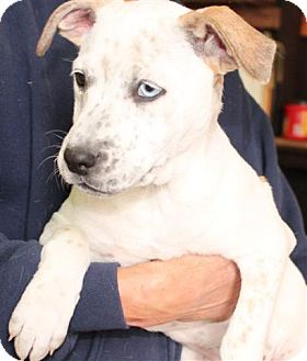 American Bulldog Mix Puppy for adoption in Salem, New Hampshire - Michelle