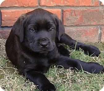 Labrador Retriever/Rottweiler Mix Puppy for adoption in Westport, Connecticut - *Lilly - PENDING