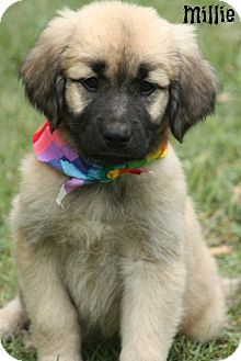 Great Pyrenees/Anatolian Shepherd Mix Puppy for adoption in Glastonbury, Connecticut - Millie