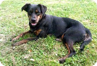 Australian Cattle Dog Mix Dog for adoption in Salem, New Hampshire - JILL