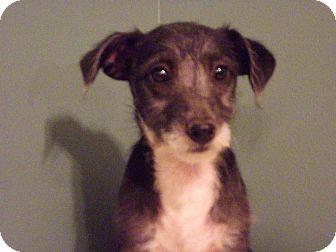 Poodle (Miniature) Mix Puppy for adoption in Hollis, Maine - Diamond*adoption pending*