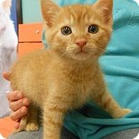 Adopt A Pet :: Gavin - Reston, VA