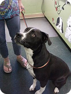 Pit Bull Terrier/Boxer Mix Dog for adoption in Grass Valley, California - Diamond