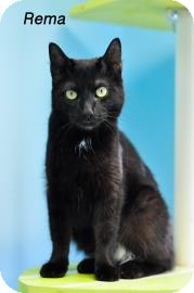 Domestic Shorthair Cat for adoption in West Des Moines, Iowa - Rema