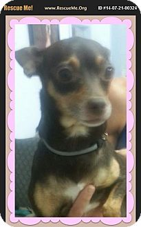 Chihuahua Mix Dog for adoption in Dallas, Pennsylvania - Momma Brown