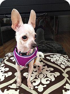 Chihuahua Dog for adoption in Encino, California - Maya 3.6 lbs.