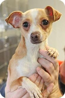 Chihuahua Mix Dog for adoption in Philadelphia, Pennsylvania - Layah