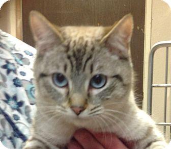 Siamese Cat for adoption in Anchorage, Alaska - Apollo