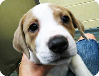 Labrador Retriever/Shepherd (Unknown Type) Mix Puppy for adoption in Virginia Beach, Virginia - Bellini