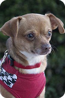 Toy Fox Terrier/Chihuahua Mix Dog for adoption in Huntington Beach, California - Cuddle Bear