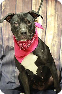 Pit Bull Terrier Mix Dog for adoption in Twin Falls, Idaho - Tessa