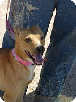 Whippet/Shepherd (Unknown Type) Mix Dog for adoption in Perris, California - Haley