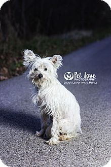Chinese Crested/Maltese Mix Dog for adoption in Cincinnati, Ohio - Gracie