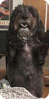 Scottie, Scottish Terrier Mix Dog for adoption in Las Vegas, Nevada - Papi