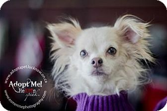 Chihuahua Mix Dog for adoption in Lucknow, Ontario - Bonded- Prissy