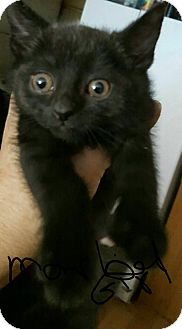 Domestic Shorthair Kitten for adoption in Hainesville, Illinois - Mabaline