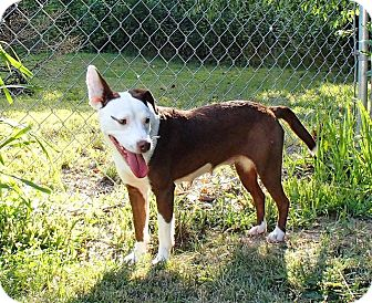 Pit Bull Terrier Mix Dog for adoption in North Wilkesboro, North Carolina - Lydia