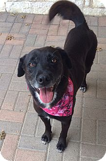 Labrador Retriever/Retriever (Unknown Type) Mix Dog for adoption in Plano, Texas - Sydney
