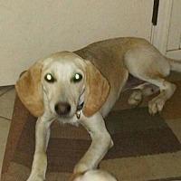 Greyhound/Hound (Unknown Type) Mix Dog for adoption in Crestview, Florida - Lillian