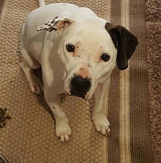 Pit Bull Terrier Mix Dog for adoption in Princeton, Minnesota - Promise
