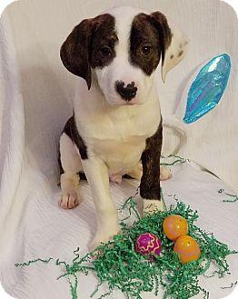 Labrador Retriever/Shepherd (Unknown Type) Mix Puppy for adoption in Newark, Delaware - Brock