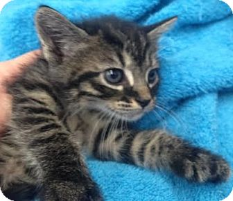 Domestic Shorthair Kitten for adoption in Orlando, Florida - Olive