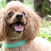 Adopt A Pet :: Rusty - Grass Valley, CA