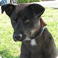 German Shepherd Dog Mix Puppy for adoption in Germantown, Maryland - Cleo